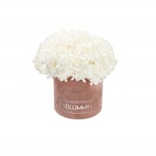 SMALL BLUMMiN -  vanaroosa sametkarp stabiliseeritud valge hortensiaga