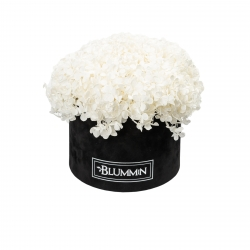 LARGE BLUMMiN - BLACK VELVET BOX WITH WHITE HORTENSIA